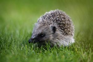 Watch out for hedgehogs