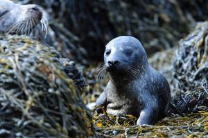 It will become an offence to harass seals at Ythan Estuary