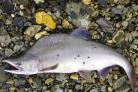 The pink salmon develop a hump in the spawning season