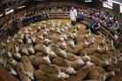 Lairg market's annual lamb sale, which is the biggest one day livestock market in Europe