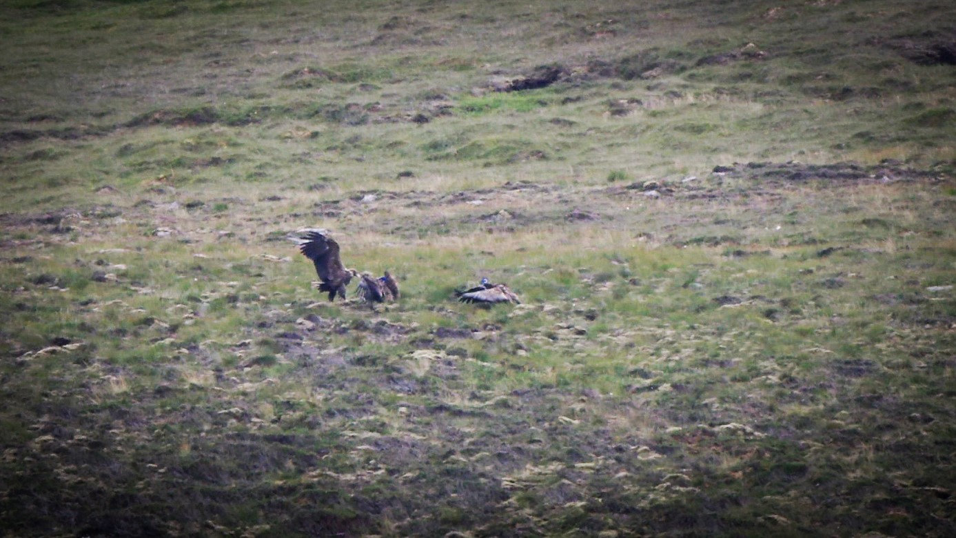 Two of the sea eagles hatched in Hoy in May and have since left the nest