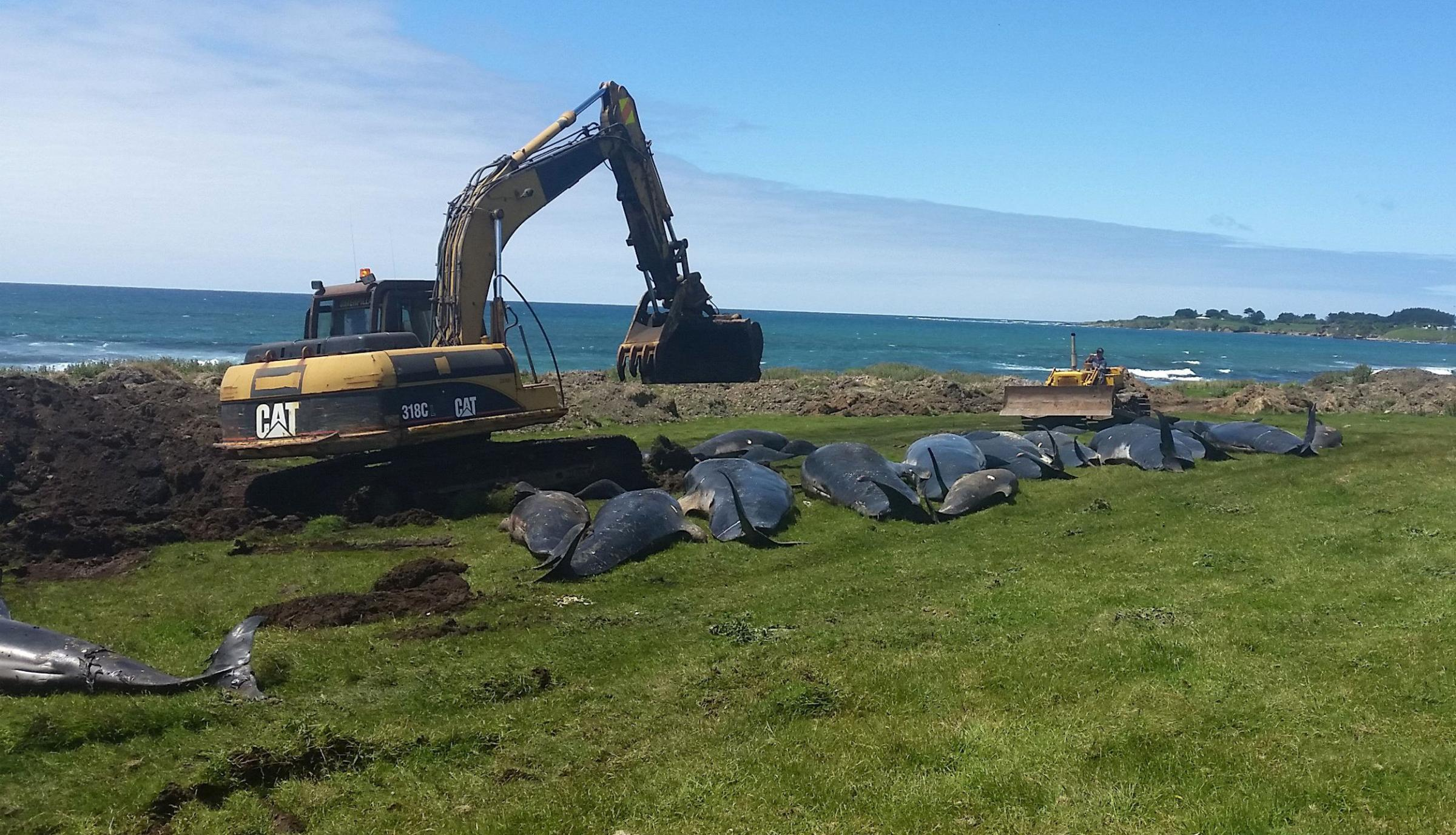 51 pilot whales die in mass stranding in New Zealand